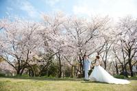 桜満開 前撮り